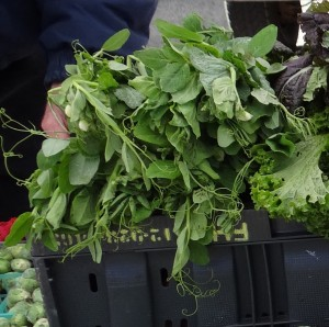 A bucketful of pea shoots from Fruitful Hill Farm