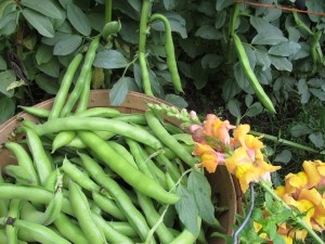 Fresh young Fava beans from Boggy Creek Farm